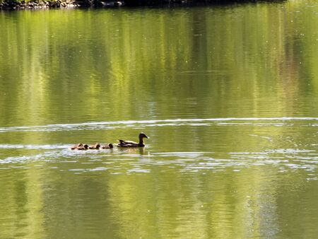 Wild duck with ducklings floating on water surface of the lake