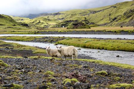 ovejas: ovejas en el campo de lava de Islandia Eldgja