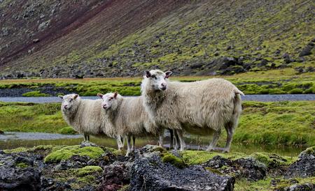 sheep on lava field Iceland Eldgja photo