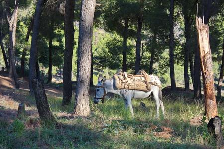 albanian: albanian donkey in forest