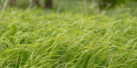 sways: Young green grass sways in the wind