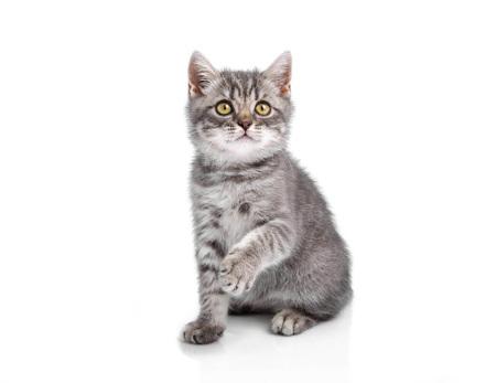isolated on gray: Funny little kitten Stock Photo