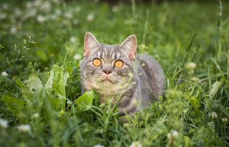 Beautiful British kitten in a grass