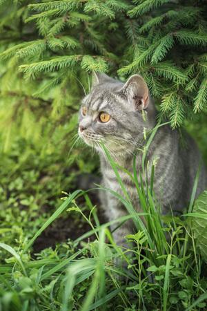 british pussy: Beautiful British kitten in a grass