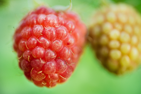 Berry raspberry closeup on a green background.