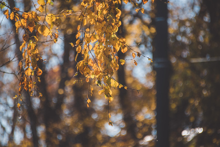 Autumn natural background - yellow leaves and soft blurred background.