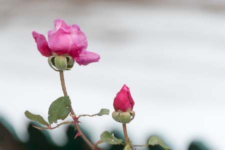 Red rose and the first frost, with winter background