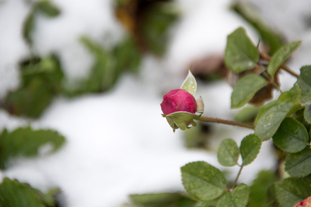 Red rose and the first frosts - a winter background Stok Fotoğraf