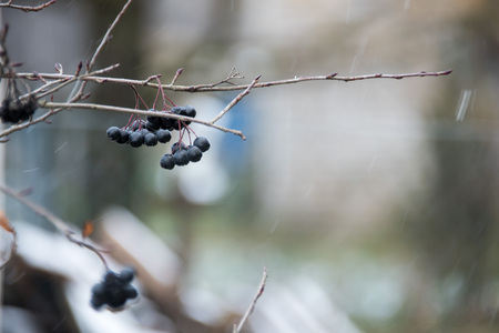 Black berries against the background of the first frosts