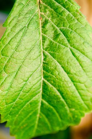 Green leaf close-up. Macro photography of plants. Natural background and texture. Stok Fotoğraf - 131885448