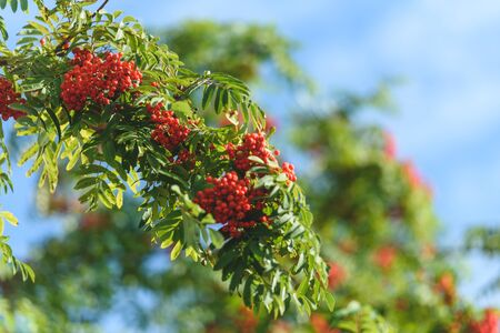 Branch with red autumn berries Rowan. Natural autumn background. Stok Fotoğraf - 131885010