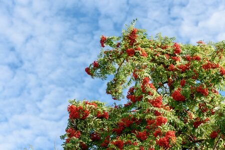 Branch with red autumn berries Rowan. Natural autumn background. Standard-Bild - 131884613