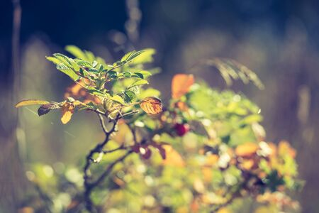Closeup of a wild rose Bush - autumn background. Yellowing leaves in autumn.