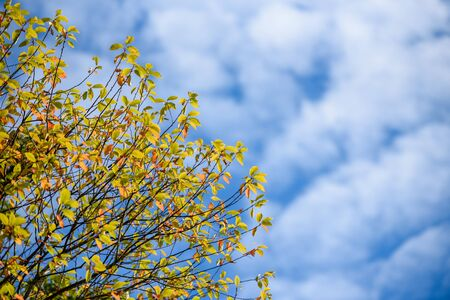 Branches of a tree with autumn yellow leaves on a blue sky