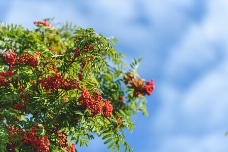 Branch with red autumn berries Rowan. Natural autumn background. Stok Fotoğraf