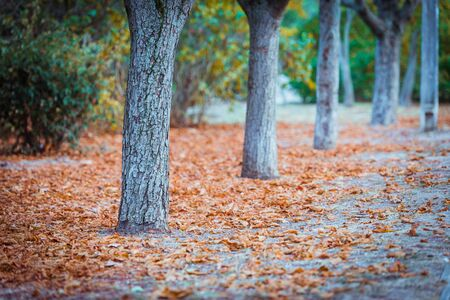 Autumn landscape-tree trunks along the alley parks and fallen red leaves on the ground Stok Fotoğraf