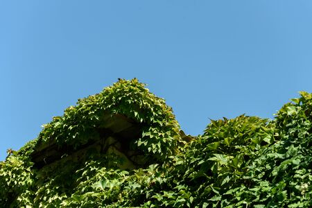Climbing greenery on the roof of the building