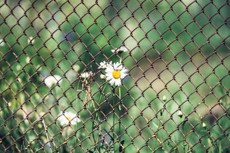 Chamomile on a green background through a fence net - natural background