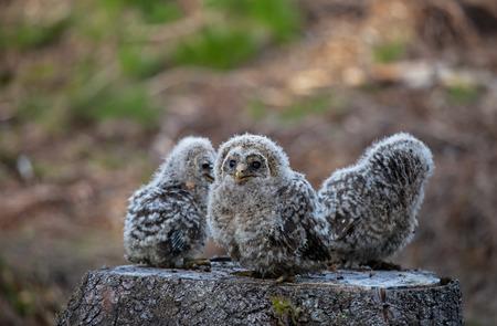 Three small babies ural owl