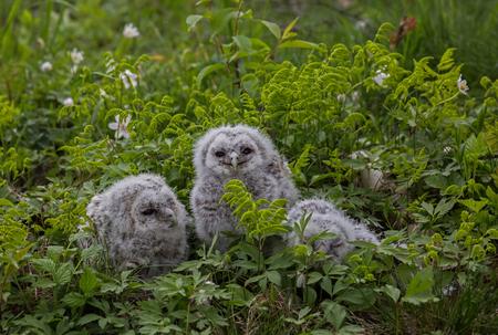 tawny: Three small tawny owls