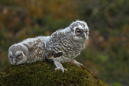 tawny: Two Small tawny owls