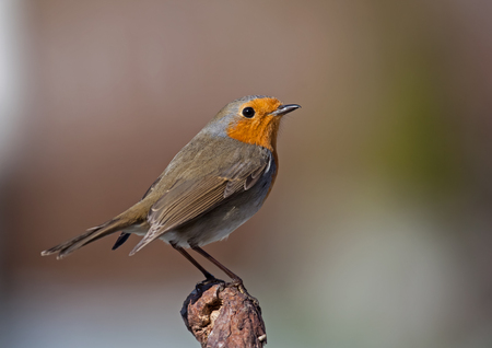 redbreast: European Robin