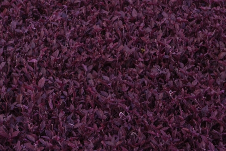 Purple leaves texture Stock Photo