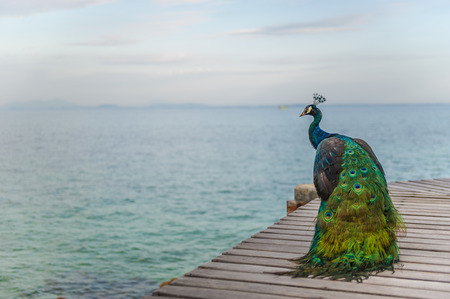 peacock beside the sea
