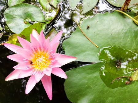 Water-lily or lotus pink color.