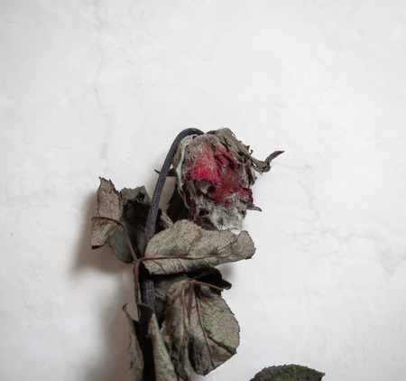 Dry rose mold Foto de archivo