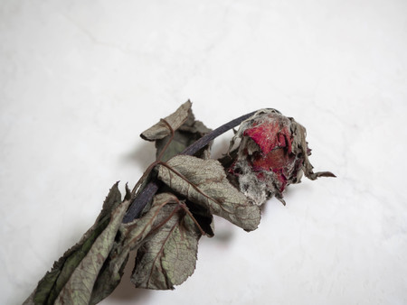 Moho de rosa seca