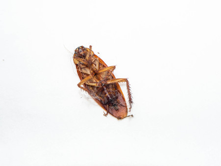 close-up cockroach isolated with cobweb on white background