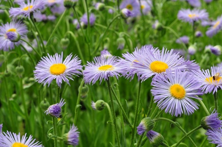 field of daisies: group of wild flowers