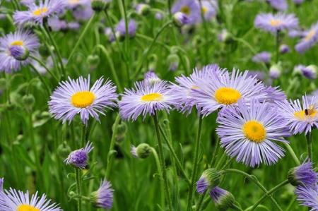 flor morada: Grupo de flores silvestres