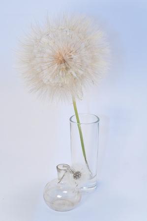 dandelion flower in a glass photo