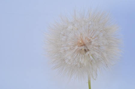 the big picture of a flower of dandelion Stock Photo