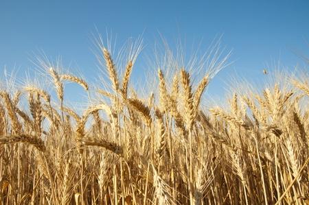 Golden wheat against the blue sky