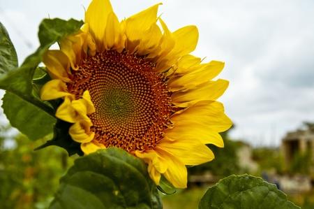 sunflower under cloudy sky Crimea
