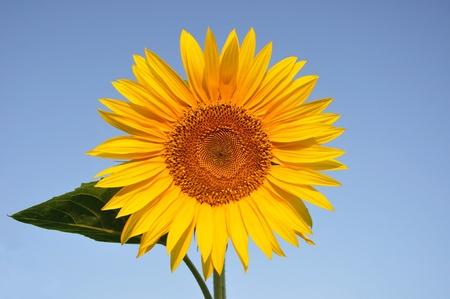 sunflower against the blue summer sky