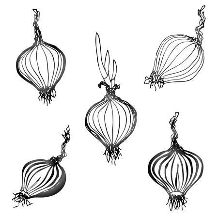 tuber: Set of hand drawn onion images   Illustration