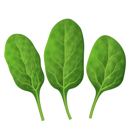 isolated: Spinach leaves close up.  Illustration