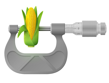 Horizontal micrometer measures ear of corn. Concept of maize cob and measuring tool. Qualitative illustration about agriculture, vegetables, agronomy, health food, gastronomy, olericulture, etc