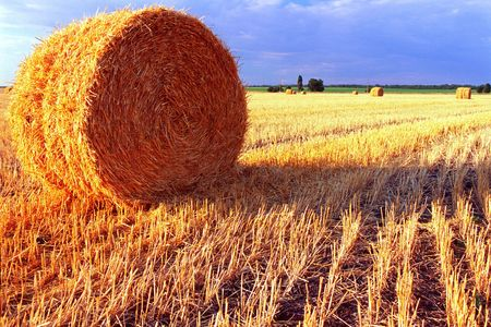 wheat feald after harvesting. Straw in rolling sheaf Stock Photo