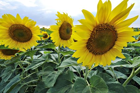 Magnificence colors of sunflower blossoming in ukrainean countryside