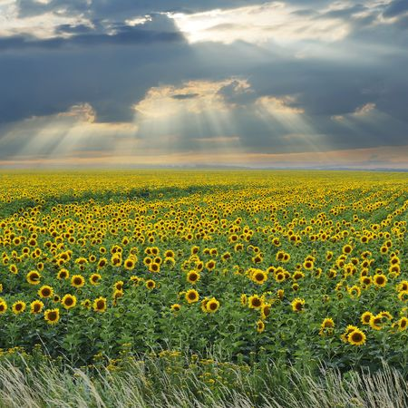 Battle between sunshine and clouds above wonderful sunflower field