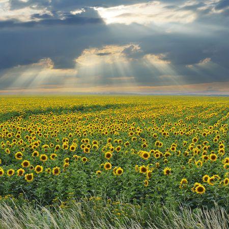 Battle between sunshine and clouds above wonderful sunflower field