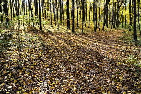 Gold fall in ukrainian forest. Leaf blanket on ground. Stock Photo