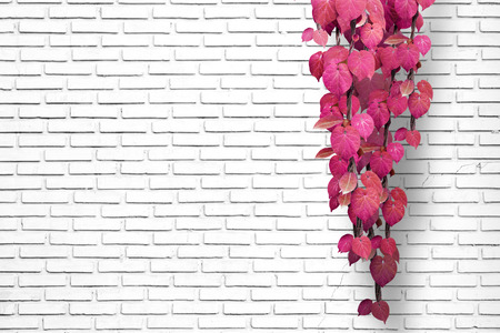 creeping plant: White brick wall background with creeping plant