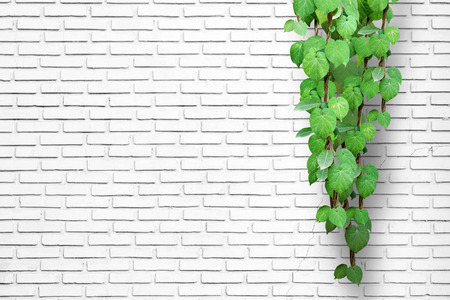 White brick wall background with creeping plant