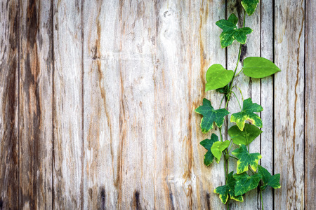 textured backgrounds: climber plant with wood plank Stock Photo